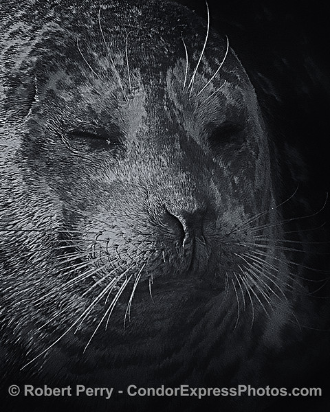 Portrait of a Pacific harbor seal.  It was in the Pacific, and in the harbor.