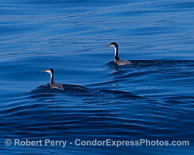 Western grebes.