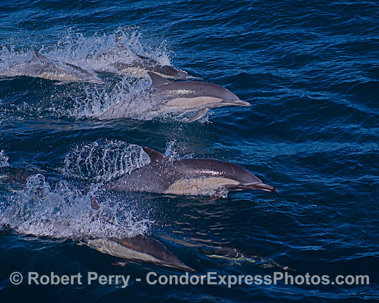 A group of leaping long-beaked common dolphins.