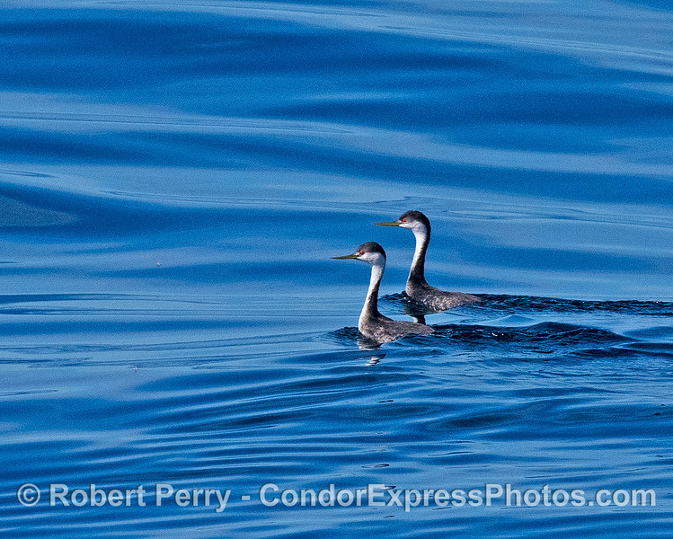 A pair of western grebes found about 8 miles offshore.