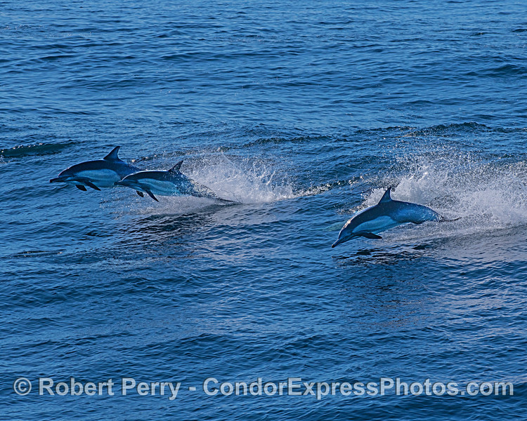 Long-beaked common dolphins bounding o'er the waves.