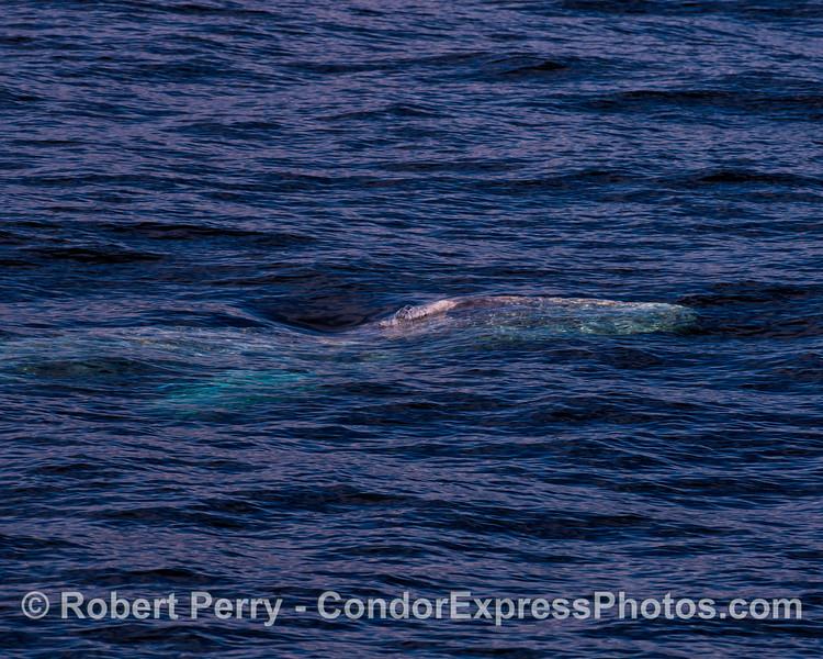 Gray whale underwater