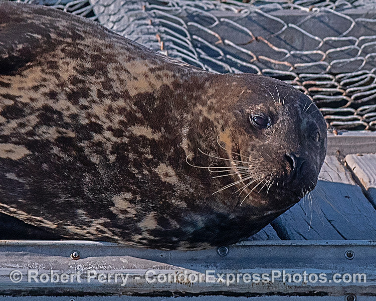 Pacific harbor seal resting on bait barge in Santa Barbara Harbor.