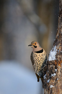 DA099,DN,Yellow-shafted Northern Flicker