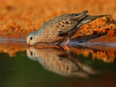 DA061,DP, Ground Dove Reflection