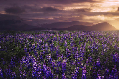 DA065,DT,Iceland's Purple Fields