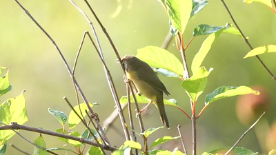 Common Yellowthroat mimics AMGO