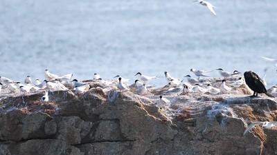 Common & Roseate Terns