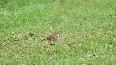 Northern Cardinal juvenile