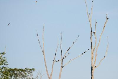 Tree Swallow, Cedar Waxwing, Chimney Swift