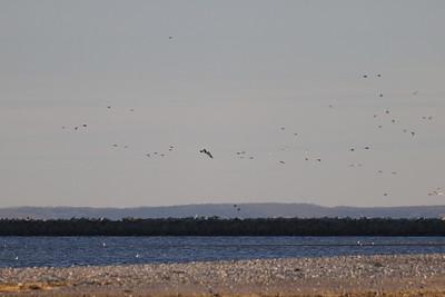 Gadwall, American Wigeon, American Black Duck, Red-breasted Merganser, Common Goldeneye