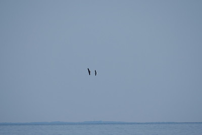 Osprey & Great Black-backed Gull
