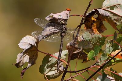 TBD Dragonfly