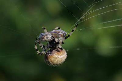 TBD (Orb-weaver?) Spider