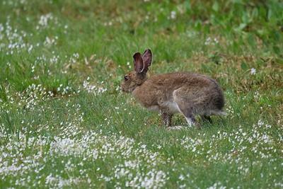 Snowshoe/Varying Hare/Rabbit
