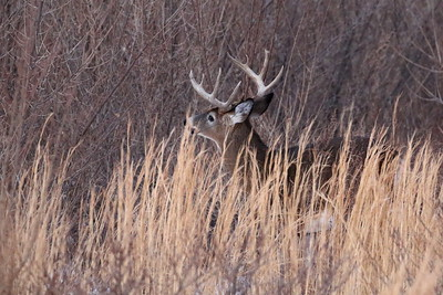 White-tailed Deer, 8-point Buck