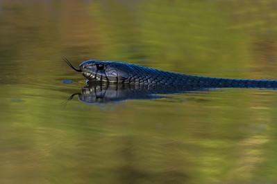 DA061,DN, Indigo Snake