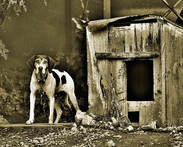 DA022,DB,forgotten coon hound