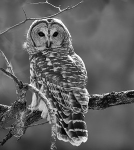 DA054,DB,Barred Owl