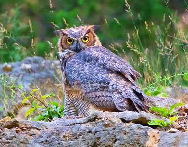 DA054,DN,Young Great Horned Owl