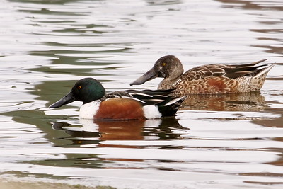 Northern  Shoveler (breeding & non-breeding male)