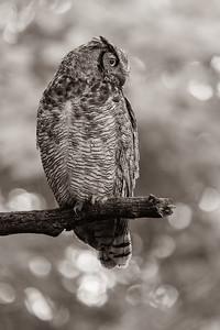 DA054,DB,Great Horn Owl