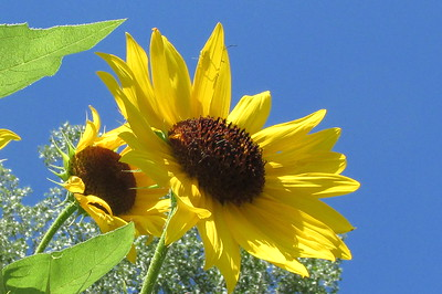 DA104,DN,Sunflower Blue Sky