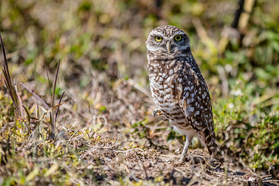 DA077,DN,Burrowing Owl