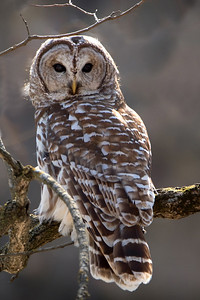 DA054,DN,Barred Owl