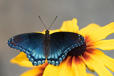 DA054,DP,Red Spotted Purple