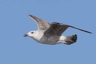 Great Black-backed Gull, juvenile