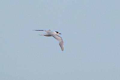 Common Tern, 2nd Summer