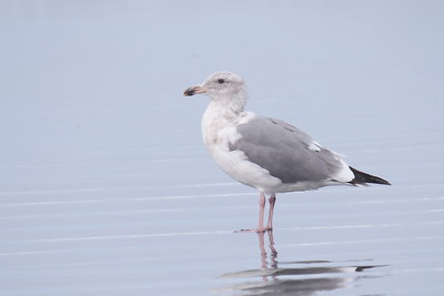 Glaucous-winged X Western Gull