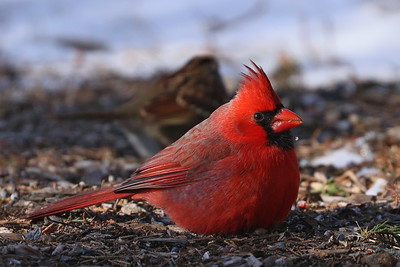 Northren Cardinal