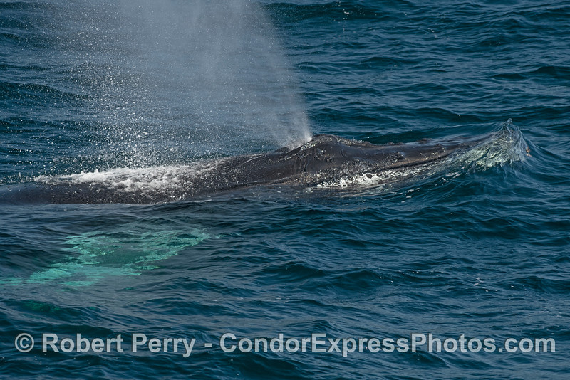 Close-up image of the head and spout (and white pectoral fins) of a friendly humpback whale.