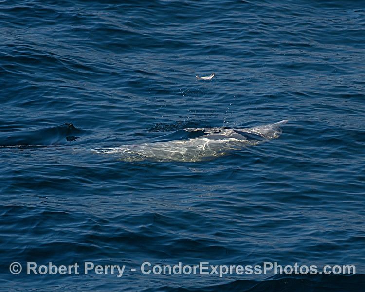 A Pacific mackerel gets some nice air as it leaps out of the way of an upside down hunting long-beaked common dolphin.