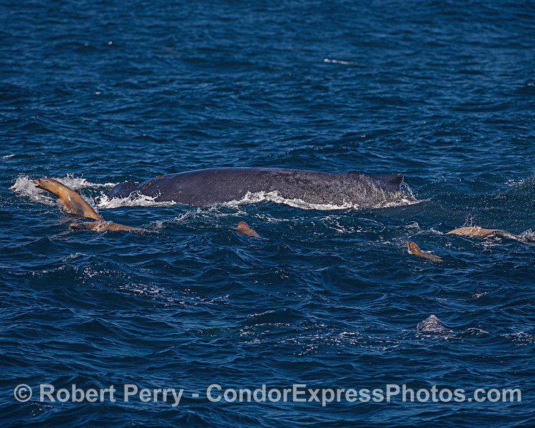 Image 1 - Part of a mob of fearless California sea lions that are attempting to hunt in close proximity to a humpback whale.