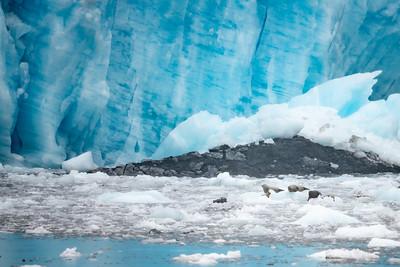 Harbor seals below Holgate Glacier