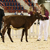 AADS18-Shorthorn-5906