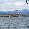 Gaviota Cocinera (Kelp Gull) along the Beagle Channel