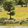 Black-necked Swan in Parque Nacional Tierra del Fuego