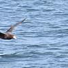 Biguá (Neotropical Cormorant)