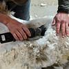 MET 041618 Shearing Close