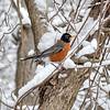 MET 040218 Snow Robin