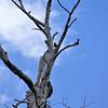 Chimango Caracara In a dead tree