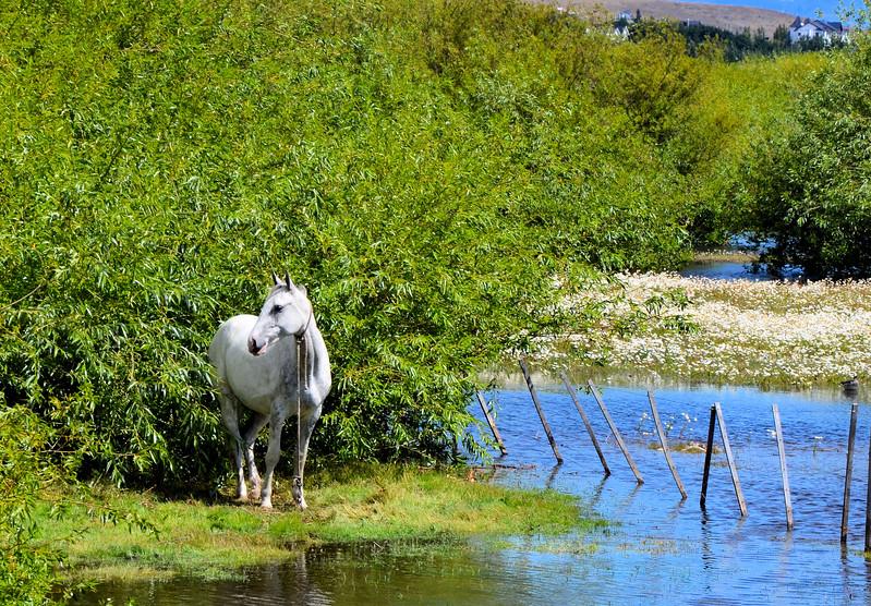 Horse tethered along the Rambla (Paseo Kitchener)