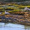 Steamer Ducks in Parque Nacional Tierra del Fuego