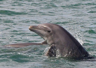Bottlenose dolphin in Magdalena Bay
