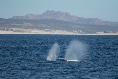 Two humpbacks off of Gorda Banks
