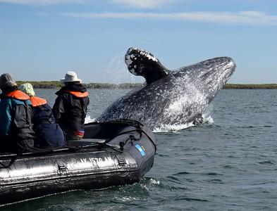 A breathtaking moment in Magdalena Bay